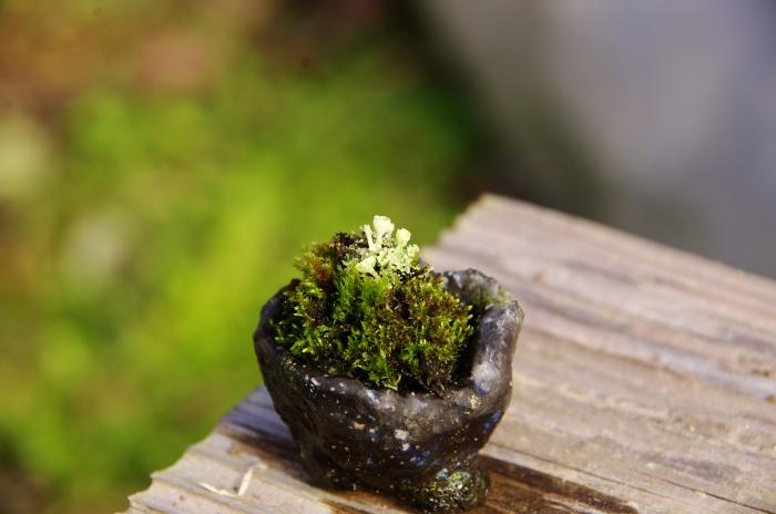 センぺルビウムと苔