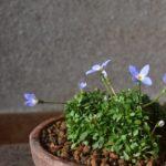 ヒナソウの可愛い花
