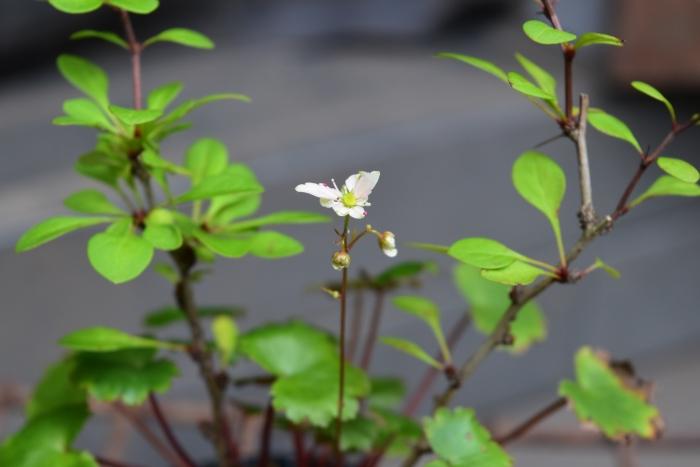 大文字草の花