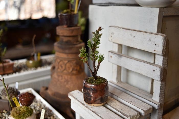 杜松宝 ミニ盆栽