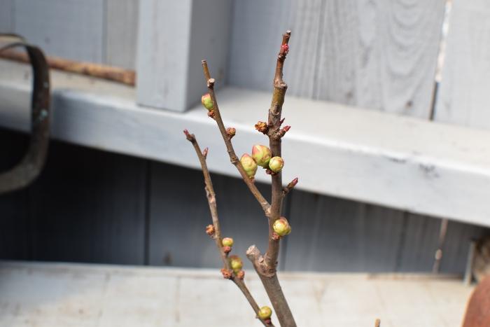 ボケ 春の花 苔玉