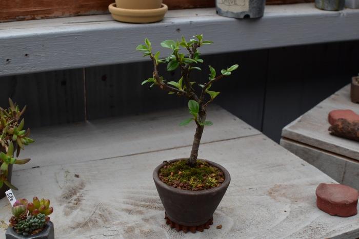 ホンシタンのミニ盆栽