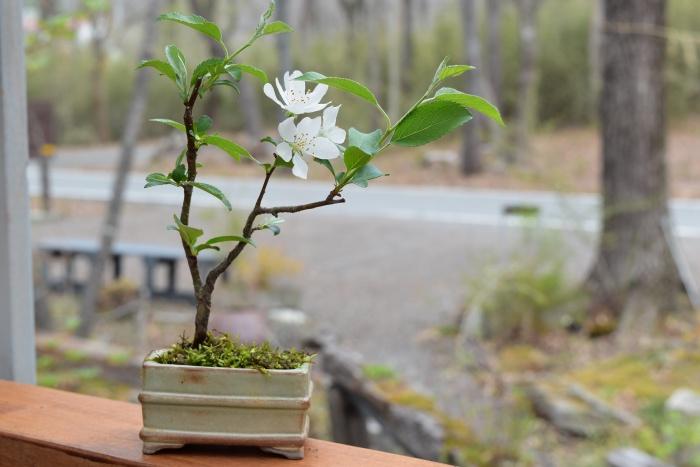 ズミのミニ盆栽