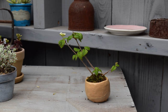 オトコヨウゾメ ミニ盆栽