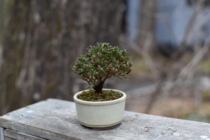 早乙女ツツジのミニ盆栽