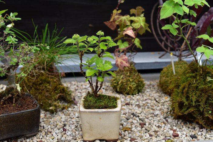 小アジサイのミニ盆栽