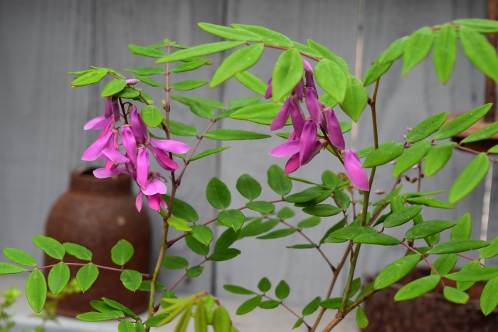 ニワフジの花