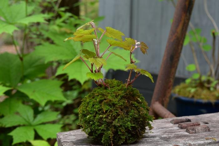 野ブドウの苔玉