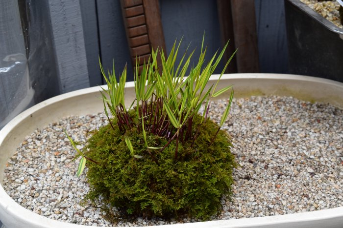 苔玉、ミニ盆栽