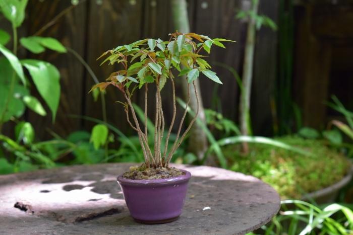 ハゼのミニ盆栽