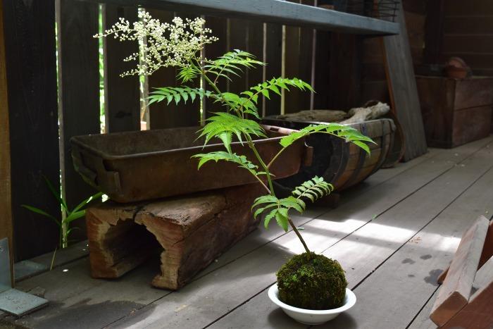 穂咲ナナカマドの苔玉