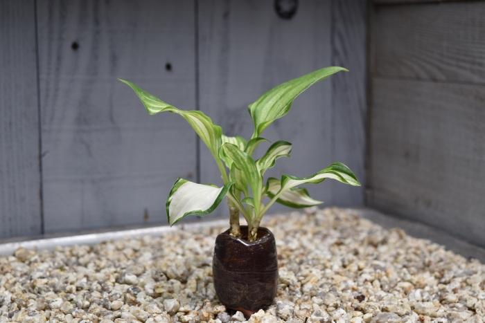 ギボウシ ミニ盆栽