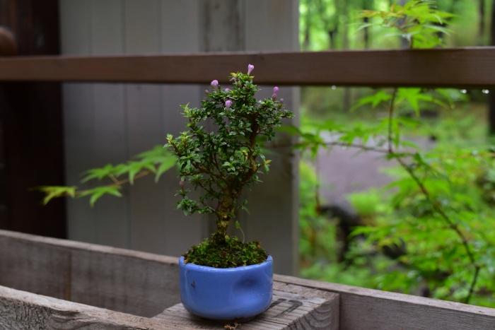コウチョウギのミニ盆栽