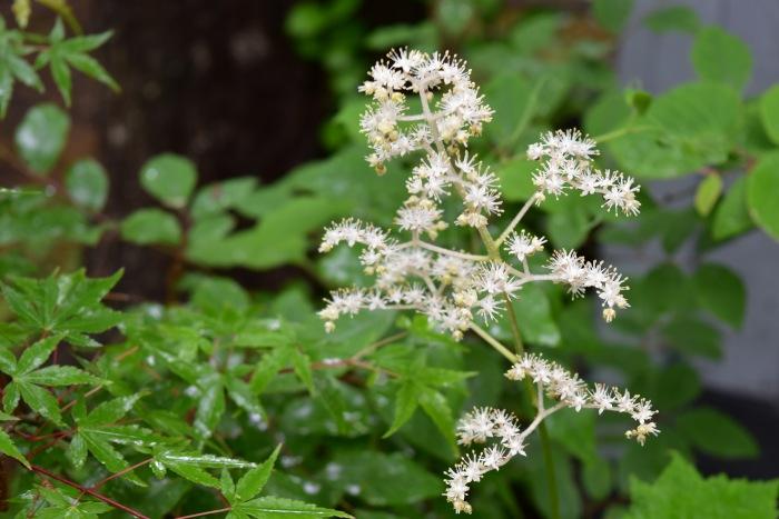 キョウカノコの花