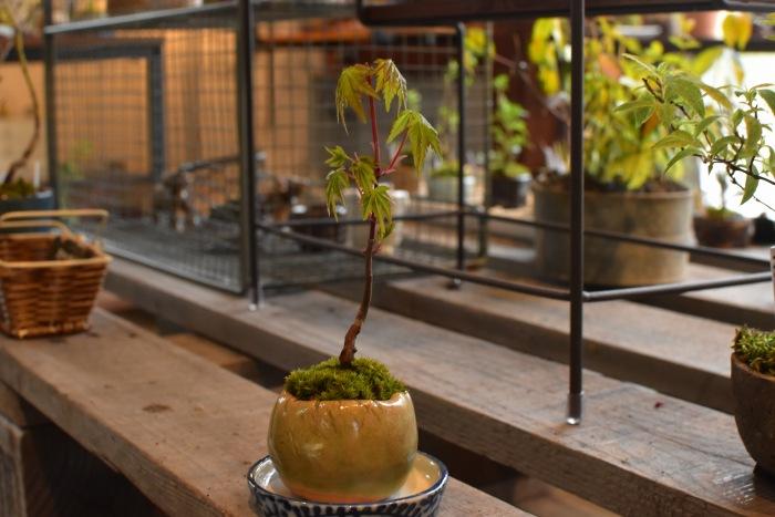 モミジ ミニ盆栽