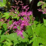 キョウガノコの花