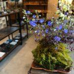 春の苔玉、ミニ盆栽